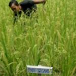SNI Beras Organik Multikualitas, Jamin Kualitas dan Pendapatan Petani