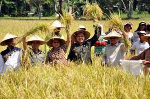 Panen padi organik di desa Lubuk Bayas, Sei Rampah, Serdang Bedagai, Sumatera Utara.