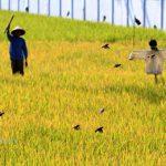 5 Cara Ampuh Mengusir Burung Hama Padi