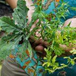 Hutan Menipis, Tumbuhan Obat-obatan pun Makin Sulit