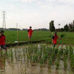 SL Minapadi Pertanian Organik Sukamandi Hulu